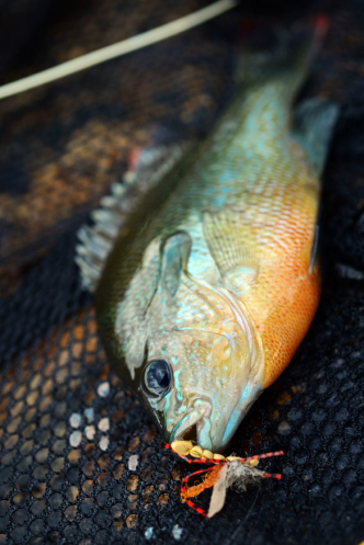 Fish warmwater for Shell cracker fish