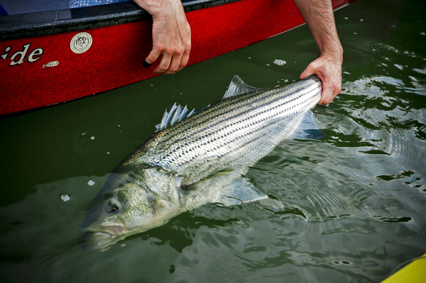 Stripers of this size range rivers throughout the South.
